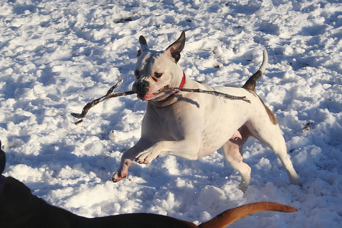 El bulldog americano puede tener el pelaje completamente blanco