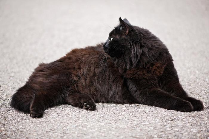 El gato angora negro