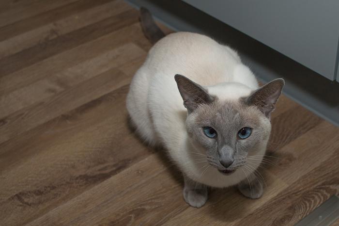 El gato siamés es curioso por naturaleza, le encanta explorar