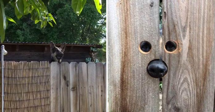 Esta perra saltaba siempre la valla para decir hola a su vecina