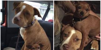 Esta pitbull y un chihuahua son los mejores amigos