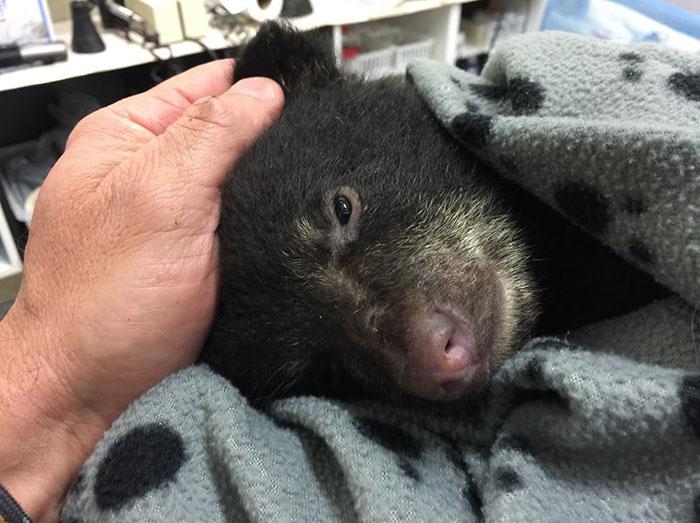 Este oso bebé estuvo a punto de morir