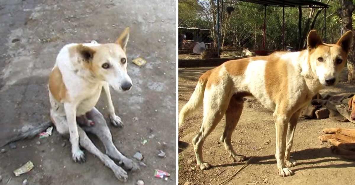 Este perro sin hogar paralizado volvió a caminar gracias a rescatistas