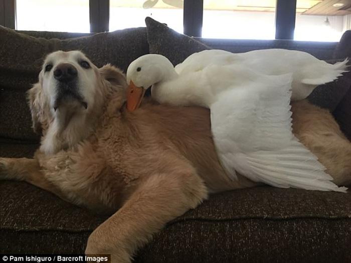 Este perro y este pato se complementan