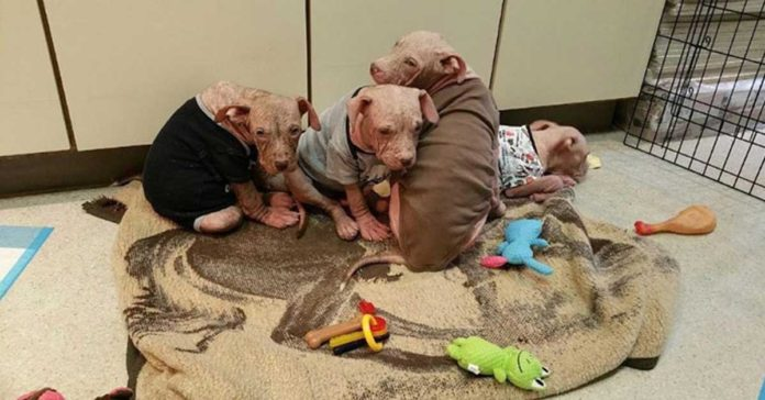 Cachorros muy enfermos sufrían de sarna avanzada