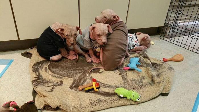 Estos perros sufrían de sarna avanzada