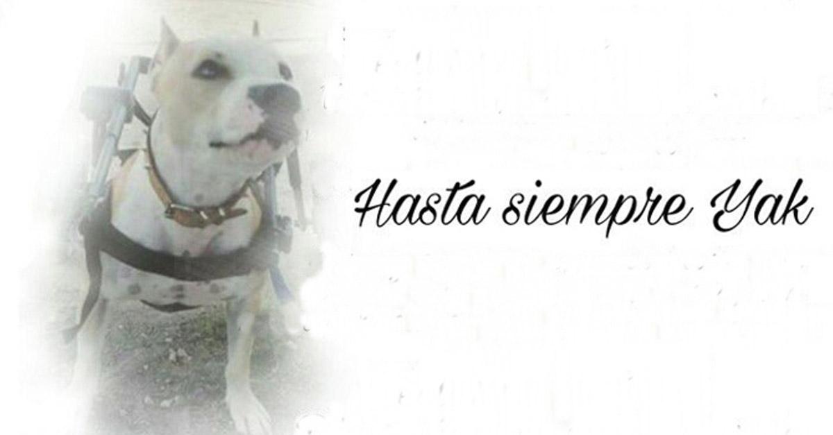 Falleció Yak, el pitbull paralítico que fue golpeado por no querer pelear