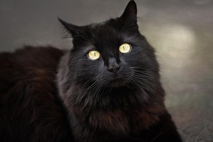 Gato angora negro