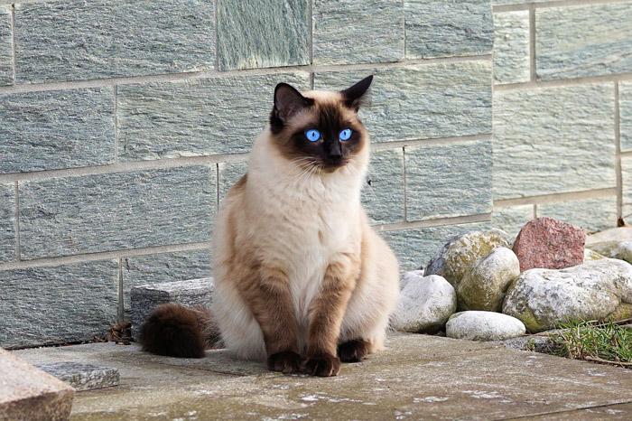 Gato de raza siamés
