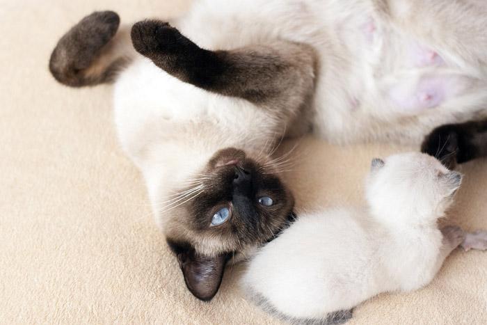 Los gatos siameses poseen diversidad de colores en su pelaje