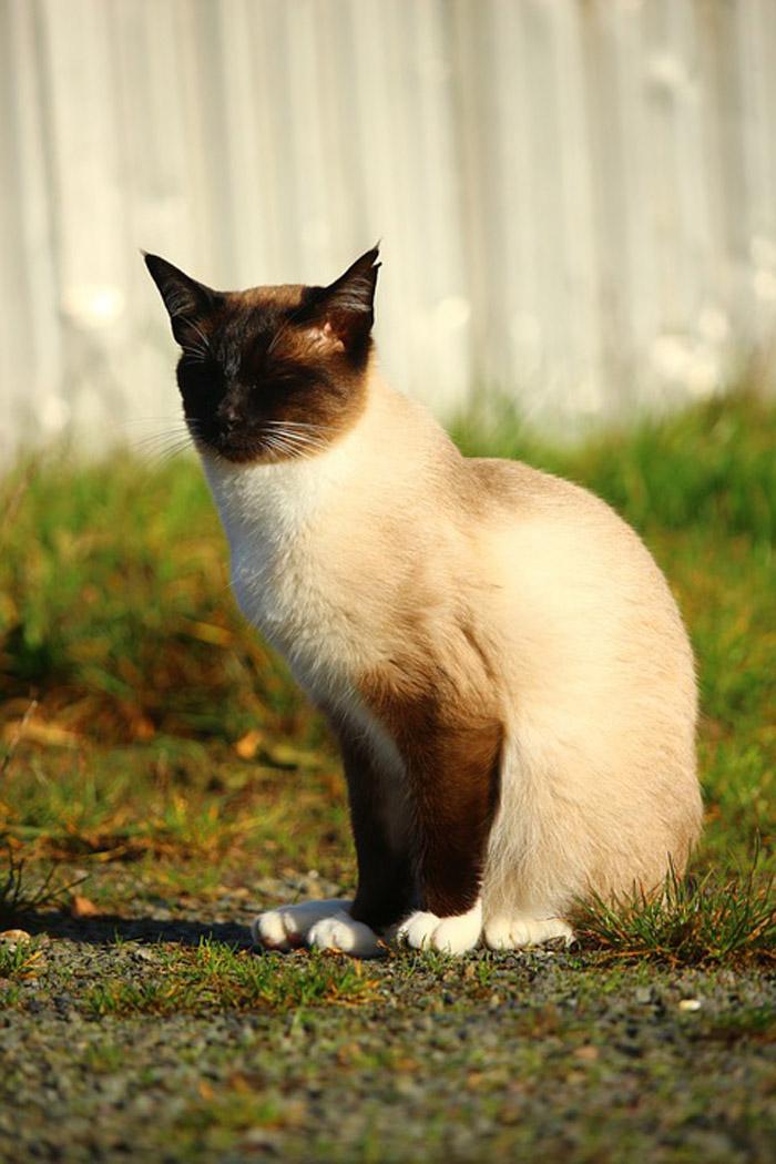 El gato siamés suele ser hiperactivo