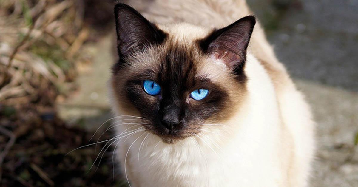Gato siam s cuidados comportamiento y caracter sticas - Cuidados gato 1 mes ...