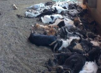 Granjera fue detenida por dejar morir a 346 cabras de hambre y de sed