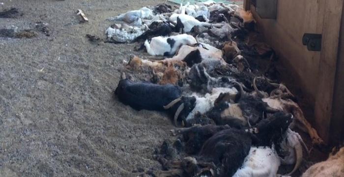 Granjera fue detenida por dejar morir a 346 cabras