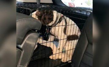 Perro encerrado en un auto estuvo a punto de morir de calor