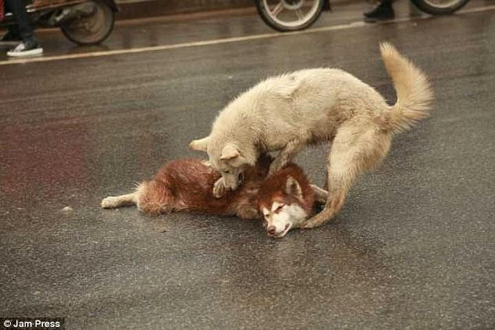 Perro falleció atropellado