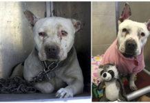 Perro pasó toda su vida encadenado aprende a ser un cachorro