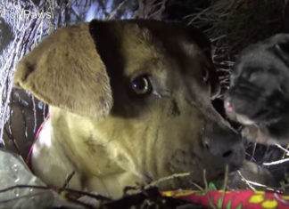 Pitbull abandonada besa a sus cachorros
