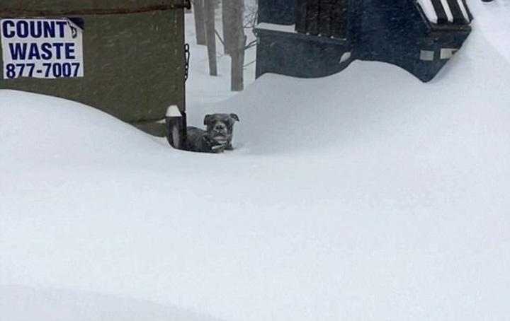 Pitbull atrapada en la nieve