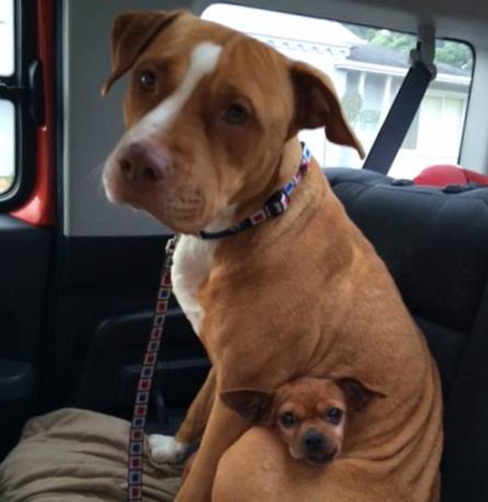 Pitbull y un chihuahua