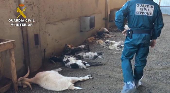 Solo 36 cabras sobrevivieron