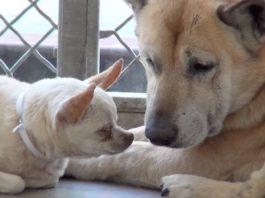 Triste perra vela por su amigo casi ciego después de ser abandonados