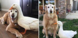 Este perro y este pato tienen una inusual amistad y son inseparables