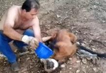Unos camioneros en Brasil salvaron la vida de un lobo deshidratado