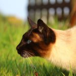 Felino de raza siamés asechando