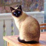 Gato de raza siamés en la mesa