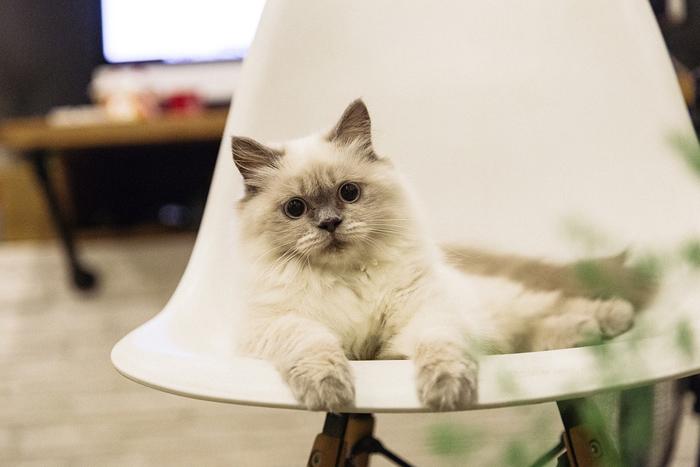 gato raza ragdoll