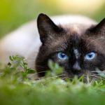 Gato siamés en el prado