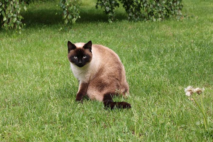 gato de raza siamés en el parque