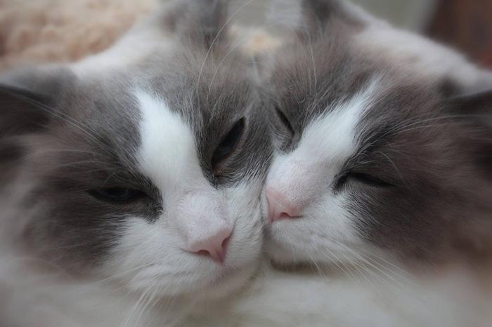 gatos ragdoll
