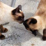 Pareja de gatos siameses