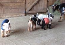 Cabras bebés aprenden a saltar por primera vez