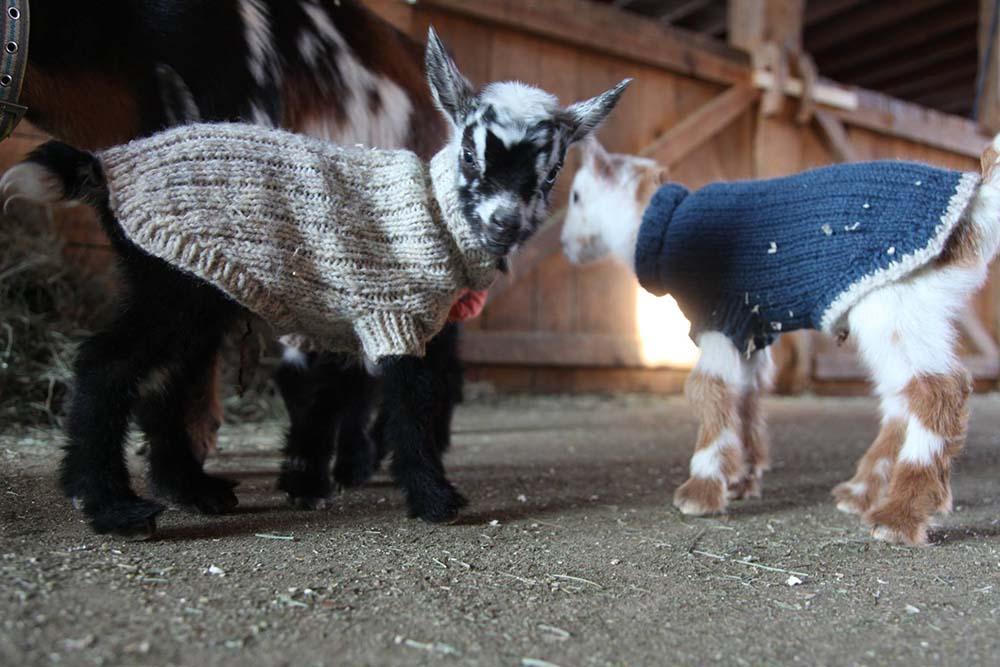 Cabras con suéteres