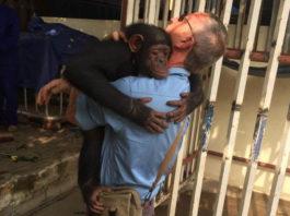 Chimpancé encadenada abraza al hombre que la rescató