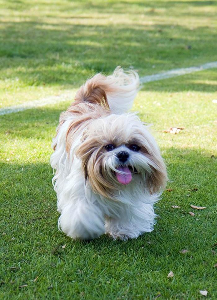 Raza canina Shih Tzu
