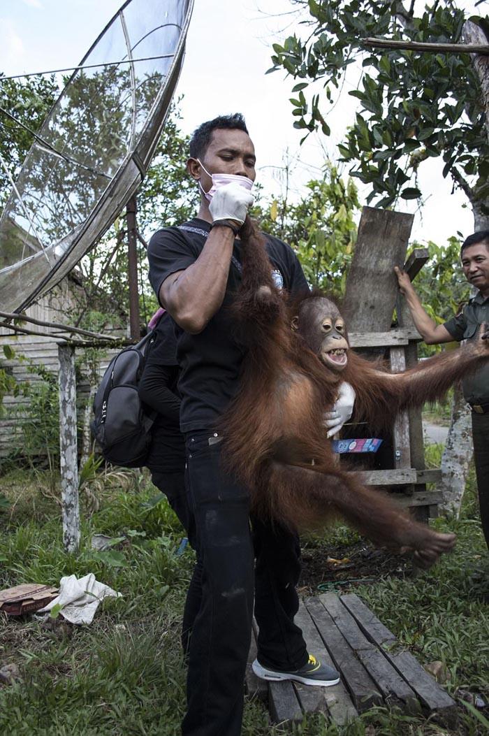 El orangután fue liberado