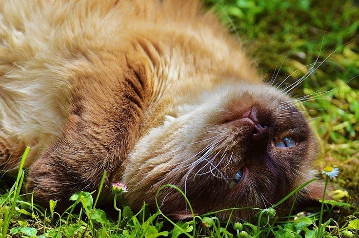Gato British Shorthair.