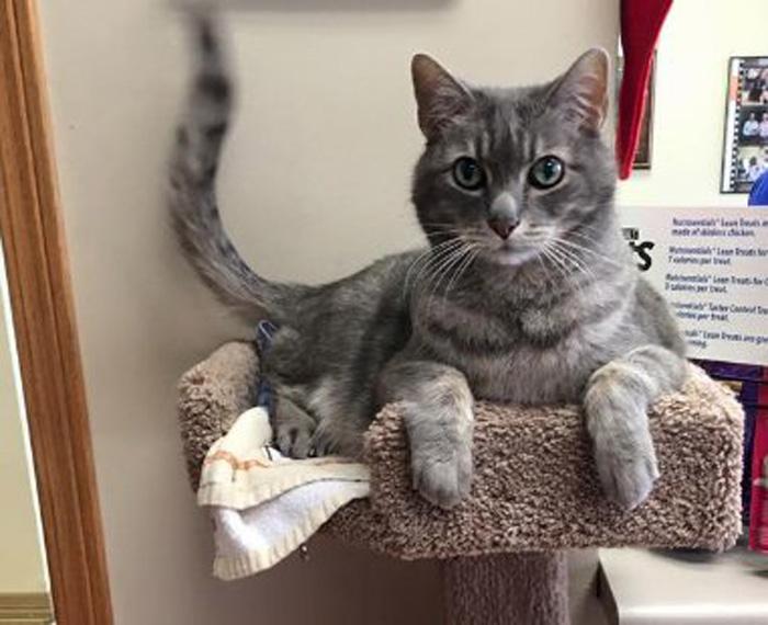 Gato de la clínica veterinaria