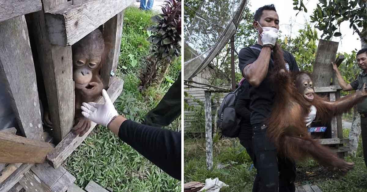Orangután fue liberado tras pasar dos años en una caja de madera