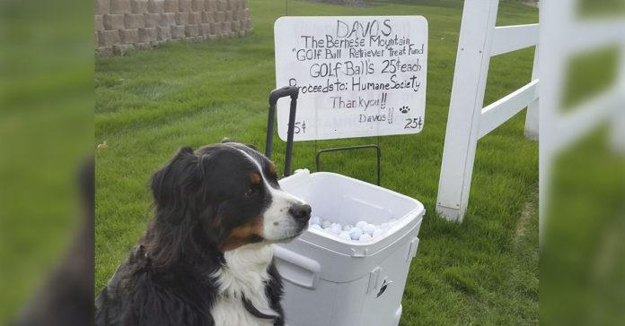 Perro recupera pelotas de golf para ayudar a un refugio