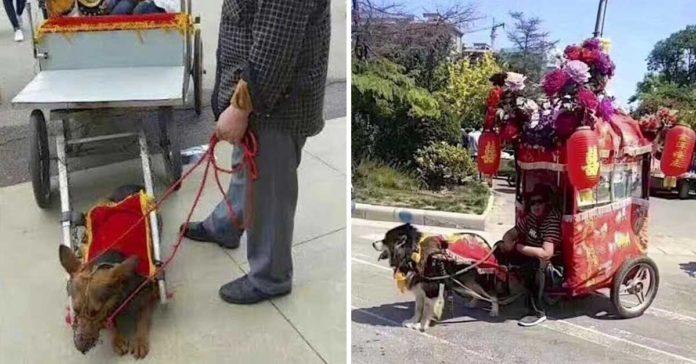 Perros están siendo utilizados para tirar de carruajes llenos de gente