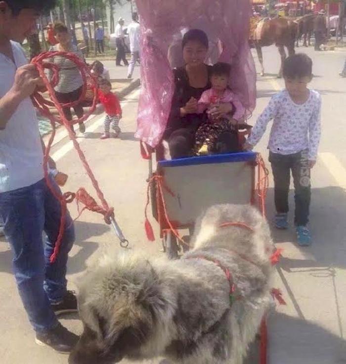 Perros son utilizados para tirar de carruajes llenos de gente