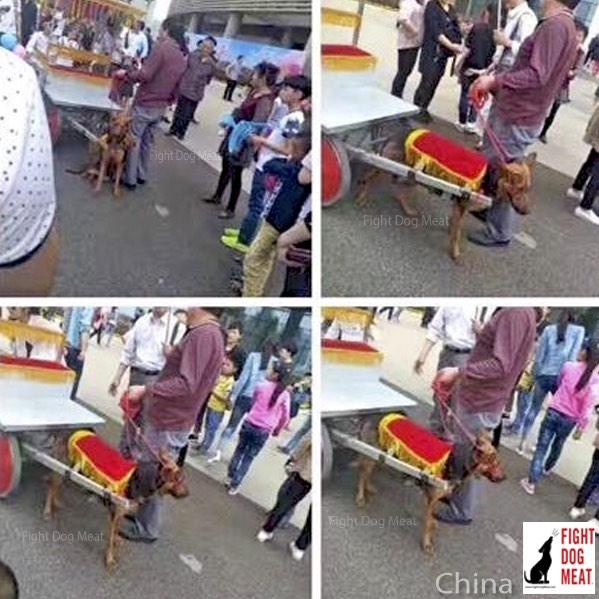 Perros tiran de carros