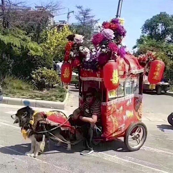 Perros tiran de pequeños carruajes llenos de gente y cosas