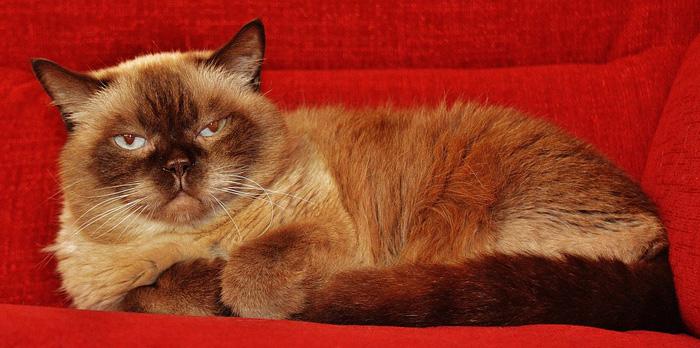 Raza felina British Shorthair.