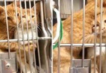 Este gato consuela a su hermana que estaba asustada en el veterinario